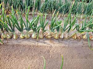 Onions  Plant Care And Collection Of Varieties