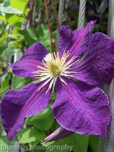 purple flowered vine purple vine flower laurengphotography