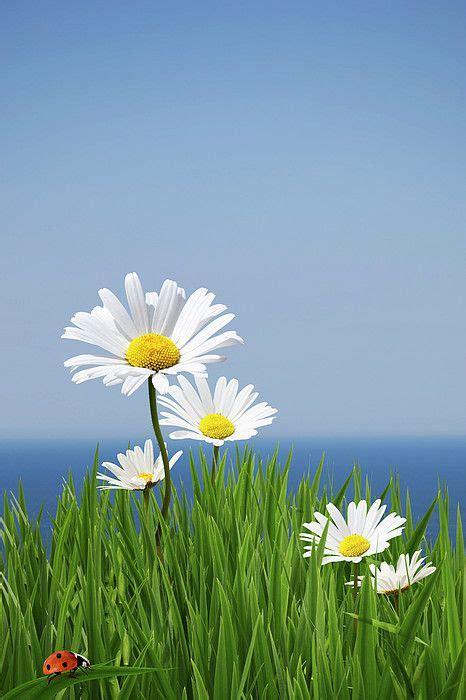 daisies   cliff edge canvas print canvas art