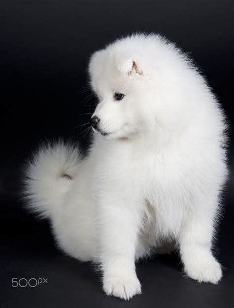 Best 25 Samoyed Puppies Ideas On Pinterest