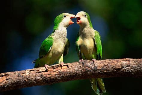 quaker parrot  talk pets