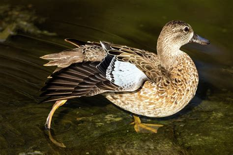 Blue Winged Teal Duck Female Photograph By Darrell Gregg
