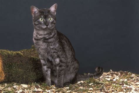 best self cleaning litter box mau cat cat breeds encyclopedia