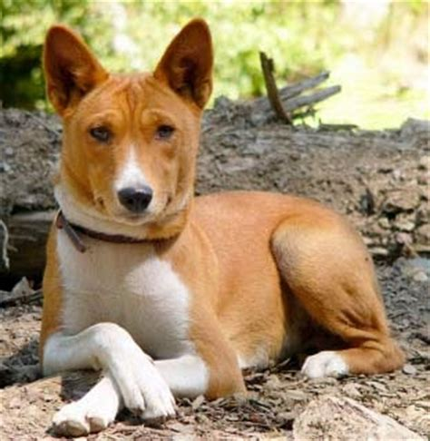 Basenji Shedding A Lot by Hypoallergenic Breeds My Dogs