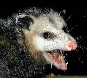 Blurt Staffer Denies Getting Bit by Opossum at Walmart ...