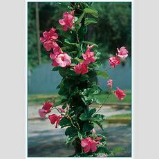Climbing Flowering Plants For Trellis 3