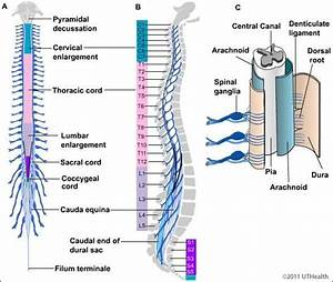 Neuroanatomy Online  Lab 4 - External And Internal Anatomy Of The Spinal Cord