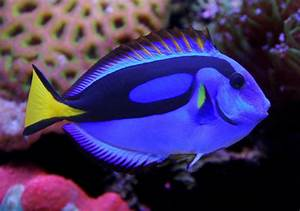 Yellow Belly Regal Blue Tang (paracanthurus hepatus var
