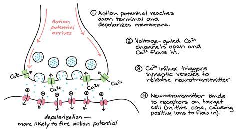 Action Potential Neuron Diagram