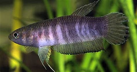father strohs mouthbrooder betta strohi nice betta