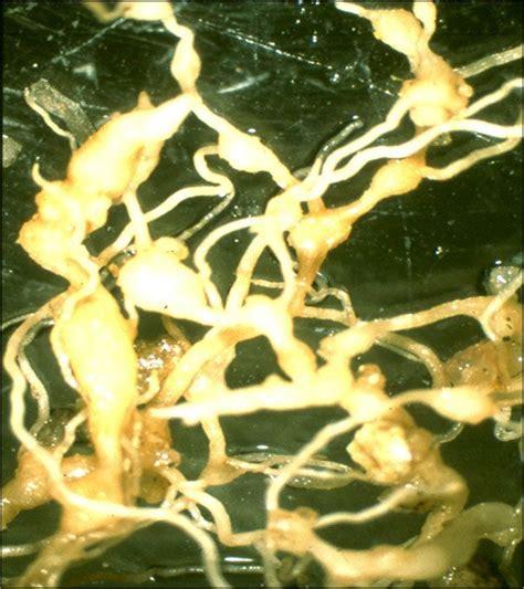 Arizona Gardeners: Parasitic nematodes can cause severe ...