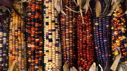 Harvest Autumn Wallpapers 1366 Fall Corn 4k