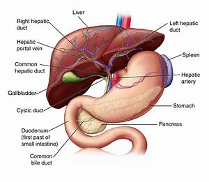 Liver  Anatomy And Functions