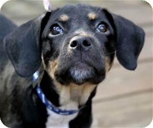 Maya | Adopted Puppy | Wayne, NJ | Labrador Retriever ...