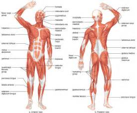 Pictures of List Of Core Muscles