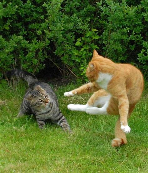 meow cat fight images  pinterest cats fighting