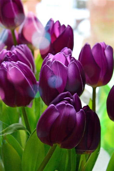 images tulips purple background bouquet flower