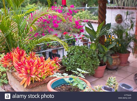 roof garden plants potted plants tropical flowers rooftop garden ajijic jalisco stock photo royalty free image