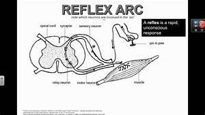 Reflex Arc  Ib Biology