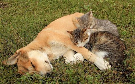 Cat Animal Wallpaper - cats resting on a sleeping wallpaper animal