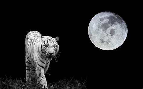 harimau putih wallpaper hd  android moa gambar