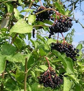 Holunder Black Beauty Essbar : schwarzer holunder schwarzer holunder von fmw51 galerie ~ Michelbontemps.com Haus und Dekorationen