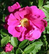 Purple Pavement Rose