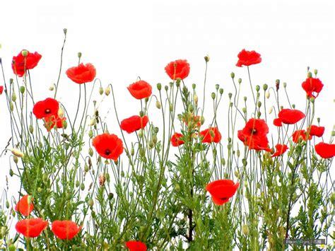 poppy pictures free use 罂粟图片 poppies 图蛙 imagewa com