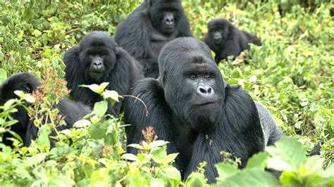 Mountain Gorillas Endangered
