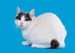 Japanese Bobtail | Cats | Breed Information | Omlet