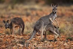red kangaroo joey climbing into pouch | Theo Allofs ...