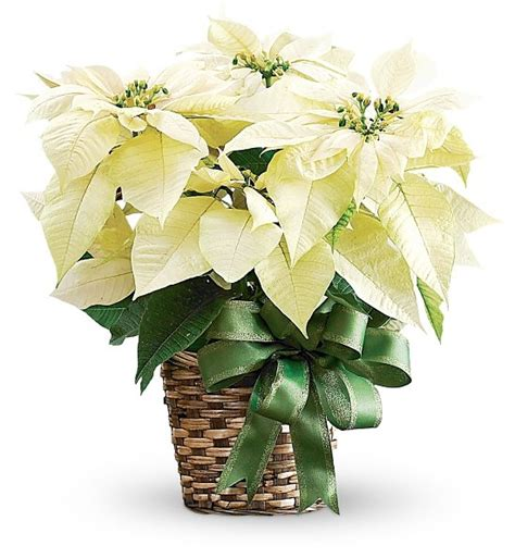 white poinsettias parker ford church