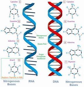 nucleic acids chemistrytutorvistacom With when an rna strand forms using dna as a template