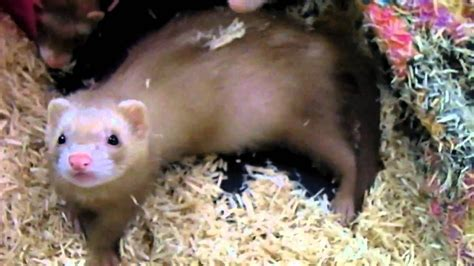 ferret  sale youtube