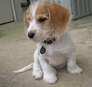 Cairn Terrier Beagle Mix | Dog Beagles