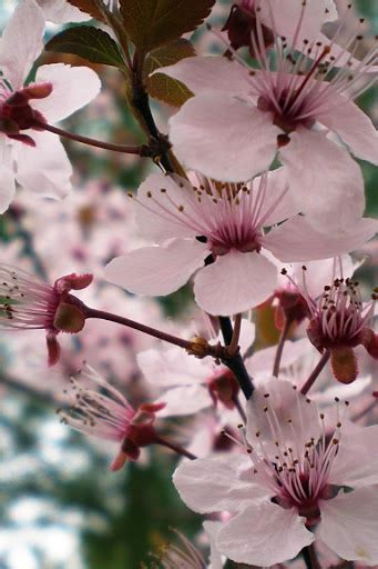 17 best images about cheery 17 best images about cherry blossom quot on