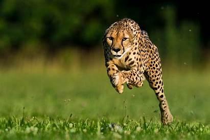 Cheetah Fastest Animals Cheetahs Geographic National
