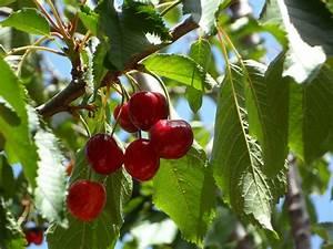 Kirschbaum Richtig Schneiden : den kirschbaum schneiden so gelingts garden blog ~ Lizthompson.info Haus und Dekorationen
