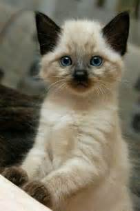 best breed of cat what is the best breed of cat cats types