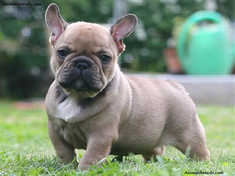 French Bulldog  Puppies, Rescue, Pictures, Information