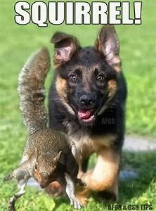 710 best German Shepherds images on Pinterest | German ...
