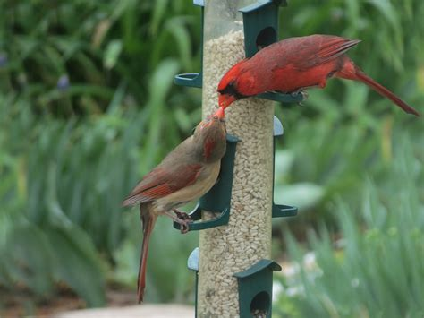 bird seed to attract cardinals bird cages