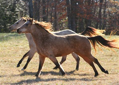 wild horses horse running fast mustang farm moving mare strong animal stallion foal colt pack herd motion causing environmental damage