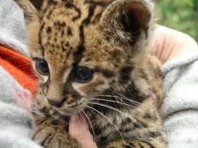 online baby shower baby jaguar digital by carol ailles