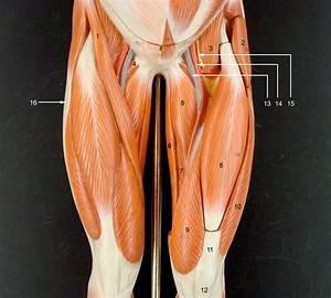 Anatomy Lab Photographs Lower Limb Muscles