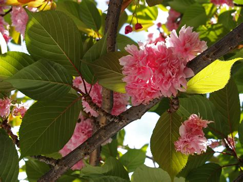flowering cherry tree care flowering cherry friends of the urban forest