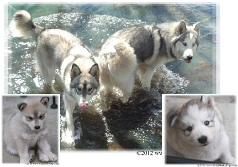 lillie jenna  wolf hybrids cute puppy pictures daily