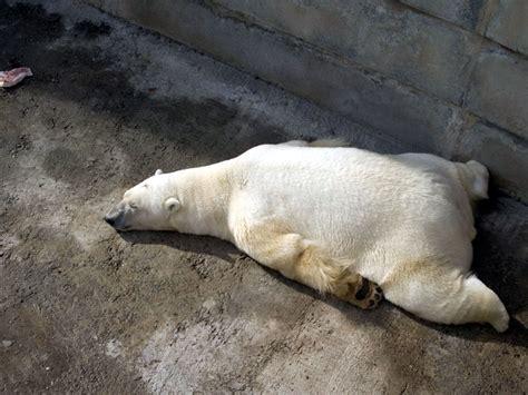 polar bear pictures beautiful polar bears