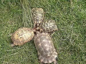 Tortoise Diets: Mediterranean Species and Russian ...