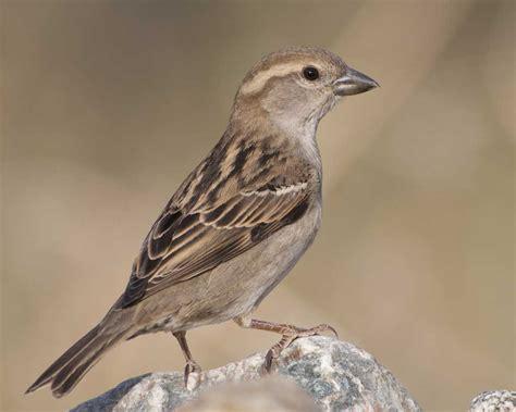 House Sparrow  Audubon Field Guide